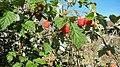 Rubus idaeus. Artimoral.jpg
