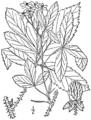 Rubus setosus as Rubus nigricans BB-1913.png