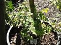 Rubus silvaticus - Botanischer Garten, Frankfurt am Main - DSC02485.JPG