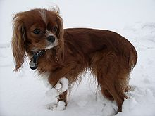 """A mostly red coloured dog with long ears standing in snow. It has a grey streak down the middle of its forehead, and wears a collar with a pendant. There are clumps of snow around its legs."""