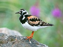 Ruddy Turnstone (1).jpg