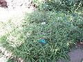Ruellia squarrosa - Jardin d'Éden.JPG
