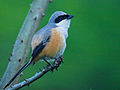 Rufous-backed Shrike by N.A. Naseer.jpg