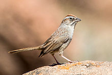 Rufous-crowned Sparrow (Aimophila ruficeps) (20342481992).jpg