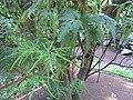 Ruizia cordata 1.jpg