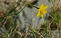 Rushleaf Jonquil (Narcissus assoanus) (8577788667).jpg