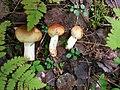 Russula foetens 90097054.jpg