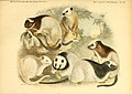 Säugethiere vom Celebes- und Philippinen-Archipel (Taf. XII) (5984631637).jpg