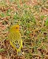Saffron Finch (Sicalis flaveola) male (28775685170).jpg