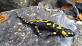 Salamander-olympus.jpg