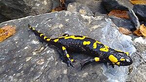 Batrachia - Fire salamander (Salamandra salamandra)