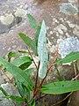 Salix caroliniana.jpg