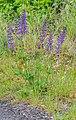 Salvia pratensis in Lozere (7).jpg