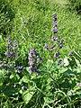 Salvia verticillata sl1.jpg