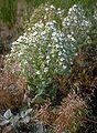 Salviaaethiopis.jpg