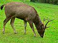 Sambar (Rusa unicolor cambojensis) (7109798353) .jpg