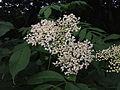 Sambucus nigra - Black Elderberry 2.jpg