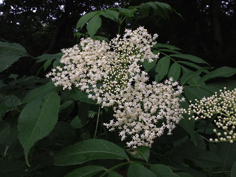File:Sambucus nigra - Black Elderberry 2.jpg