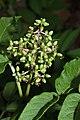 Sambucus racemosa 9146.JPG