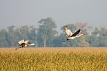 Sandhill Cranes in flight 7960.jpg
