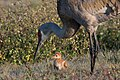 Sandhill crane with chick, harns marsh (33153716840).jpg