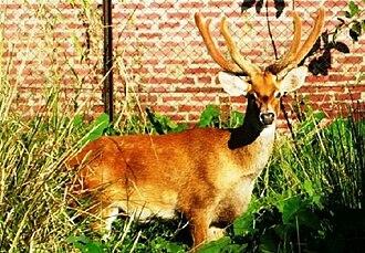 Eld's deer - Panolia eldi eldi or sangai in Manipur