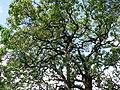 Santalum freycinetianum (5210104956).jpg