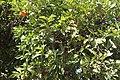 Sapindales - Citrus sinensis 3.jpg