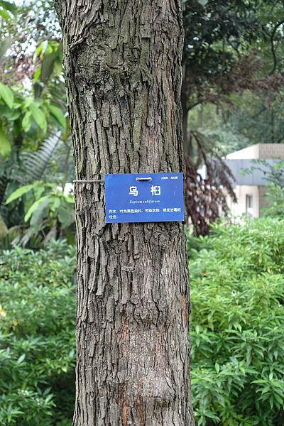File:Sapium sebiferum - Chengdu Botanical Garden - Chengdu, China - DSC03470.JPG