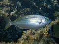 Sarpa salpa Minorca.jpg