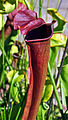 Sarracenia 'Wilkerson's Red' x 'Flies Demise' (7532264146).jpg