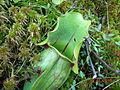Sarracenia purpurea PinhookBog.jpg