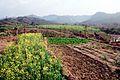 Sarson blooms at Prakriti Farms 17.10.2010 023.jpg