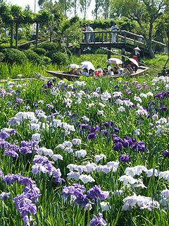 Sawara-aquatic-botanical-garden,iris,katori-city,japan.JPG