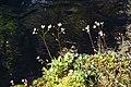Saxifraga paniculata, Valgrisenche - img 23359.jpg