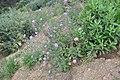 Scabiosa atropurpurea 3.jpg