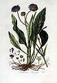 Scabiosa succisa — Flora Batava — Volume v3.jpg