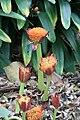 Scadoxus puniceus.jpg