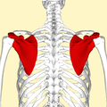 Scapula - posterior view2.png