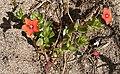 Scarlet Pimpernel (Anagallis arvensis) - geograph.org.uk - 472248.jpg