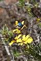 Scelophysa trimeni (Scarabaeidae- Melolonthinae-Rutelinae- Hopliini) mating on Osteospermum oppositifolium (Asteraceae) (23585682298).jpg