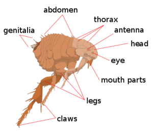 flea infestation Gympie