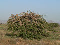 Schistocerca gregaria swarm.jpg