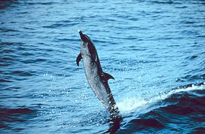 Pantropical spotted dolphin - Dolphin skipping on its tail over the water