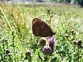 Schmetterling Caronna Unbekannt.JPG