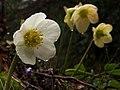 Schneerose (Helleborus niger).jpg