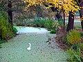 Schwan im Herbst.JPG