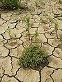 Scleranthus annuus (s. str.) sl37.jpg