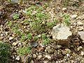 Scleranthus annuus (s. str.) sl7.jpg