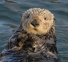 Sea Otter (Enhydra lutris) (25169790524) crop.jpg